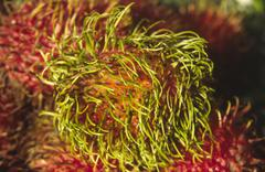 food fruit green rambutan red part plant asia - stock photo