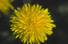 flower closeup dandelion vegetation bloom botany - stock photo