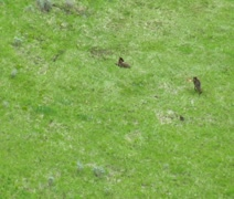 Wolves in grassy meadow near Paradise Valley Montana, aerial Stock Footage