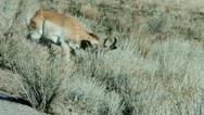 Stock Video Footage of Antelope
