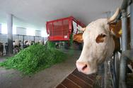 Stock Photo of agrar beef cowshed economy livestock husbandry