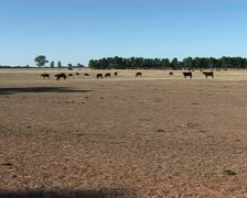 Cattle on dry farmland during a drought in Australia Stock Footage