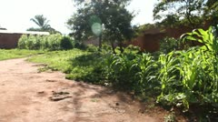 Green cornstalks Stock Footage