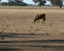 Cow on dry farmland during a drought in Australia Stock Footage
