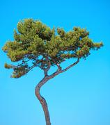 maritime pine curved tree on blue sky background. provence, france. - stock photo