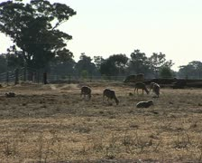 Sheep on dry farmland during a drought in Australia Stock Footage