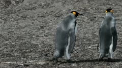 King Penguins, Falklands Islands Stock Footage