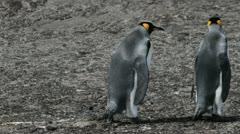 King Penguins, Falklands Islands Stock Footage