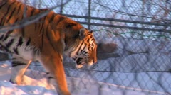 Tiger walks through snow behind chain-link fence Stock Footage
