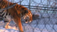Stock Video Footage of Tiger walks through snow behind chain-link fence