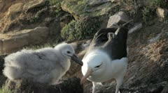 Black-browed Albatross chick being fed by adult, Falkland Islands - stock footage