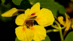 Bee 3 - stock footage