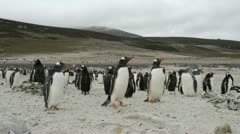 Gentoo Penguins, Falkland Islands Stock Footage
