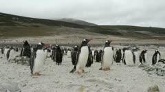 Gentoo Penguins, Falkland Islands Stock Footage