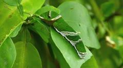 Multi-Footage ACTIVE Butterfly Citrus Swallowtail Caterpillar feeding Stock Footage