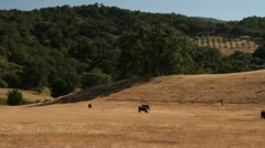 cattle eat in dry California field - stock footage