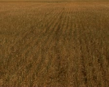 Wheat field bad crop after a drought in Australia Stock Footage