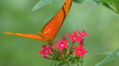 ACTIVE Butterfly Julia Heliconian Dryas julia Fabricius pollinating Pollination Stock Footage