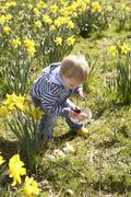young boy on easter egg hunt in daffodil field - stock photo