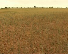 Canola crop in Australia destroyed by a drought Stock Footage