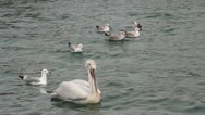 Stock Video Footage of Pelicans And Seagulls