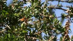 Monarch butterflies sit on branches Stock Footage