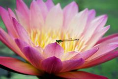 water lily closeup with dragonfly - stock photo