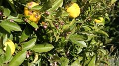 Lemons on lemon tree slide rail shot Stock Footage