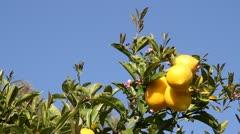 Lemons on lemon tree with blue sky Stock Footage