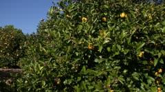 Pan across lemon Grove Stock Footage