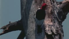 Red headed woodpecker Stock Footage