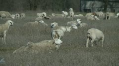 HERD OF SHEEP GRAZING AND RELAXING HD STOCK VIDEO FOOTAGE 1080 Stock Footage