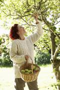 woman picking apples off tree - stock photo