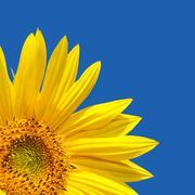 Sunflower blue sky Stock Photos