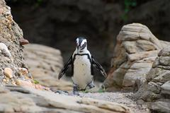 Penguin walking Stock Photos