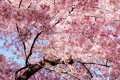 cherry blossom background - stock photo