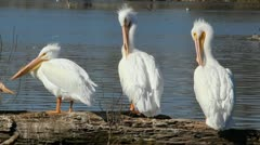 Pelicans - stock footage