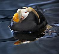 Tufted puffin swimming and resting alaska Stock Photos