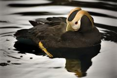 tufted puffin swimming alaska - stock photo