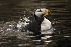 horned puffin spashing with reflections alaska - stock photo