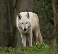 white wolf staring at the crowd - stock photo