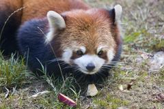 Red panda shining cat close up Stock Photos