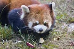 red panda shining cat close up - stock photo