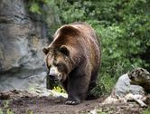 Kodiak brown bear walking on trail Stock Photos