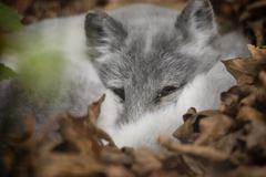artic fox peeking out at visitors - stock photo