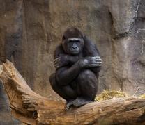gorilla ape looking at crowd - stock photo