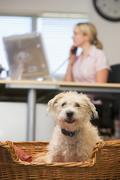 Dog lying in home office with woman in background - stock photo