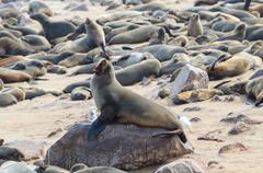 Cape fur seal Stock Photos