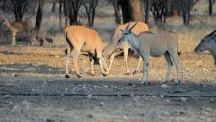 Eland antelopes fighting Stock Footage