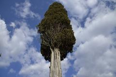 cypress - stock photo